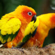 sun-conure-at Jurong Bird Park in singapore-2